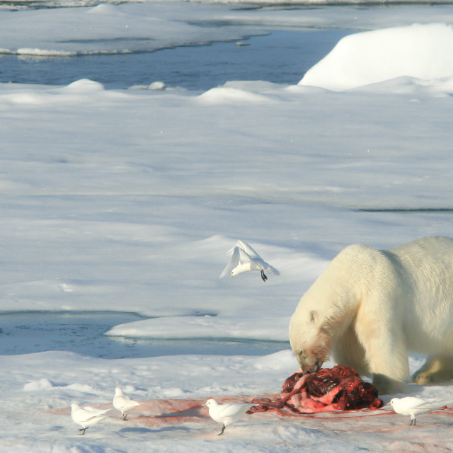 """Polar bear eating a seal with ivory gulls"" stock image"