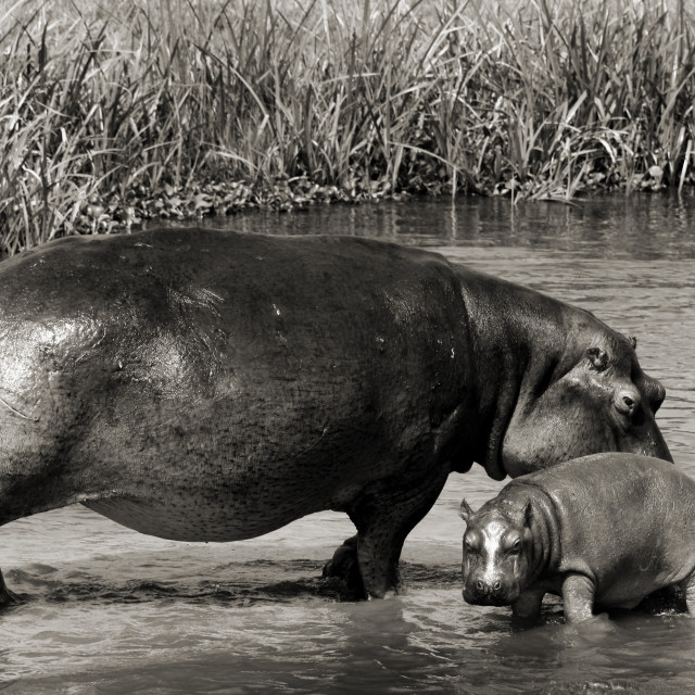 """Mama and baby hippo"" stock image"