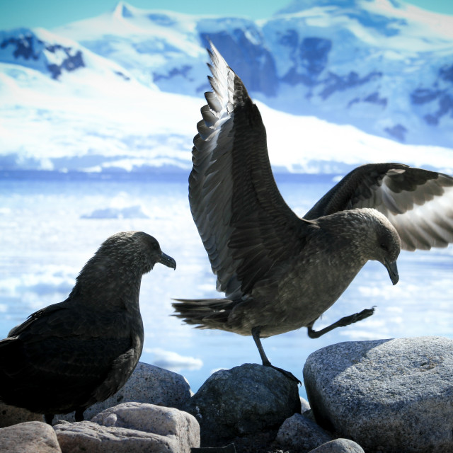 """Antarctic skuas"" stock image"