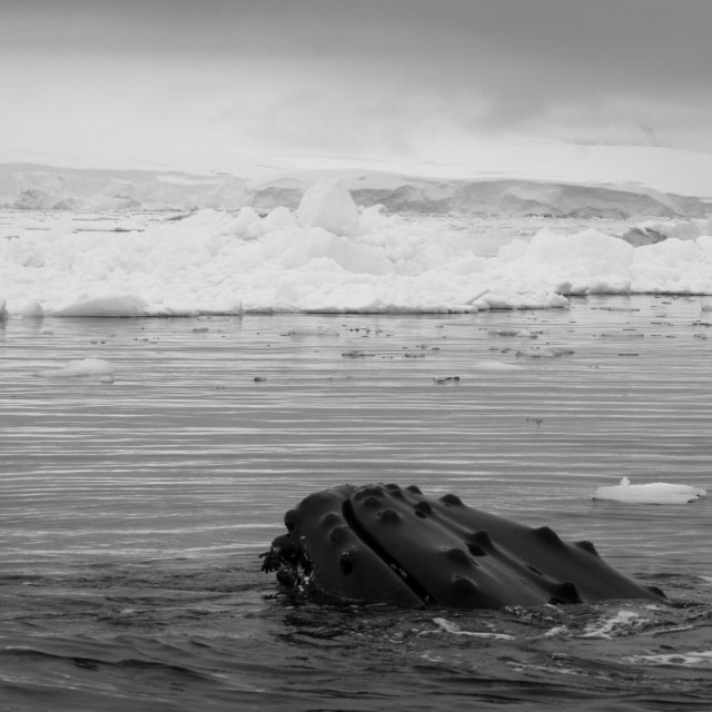 """""""Humpback whale in Antarctica"""" stock image"""