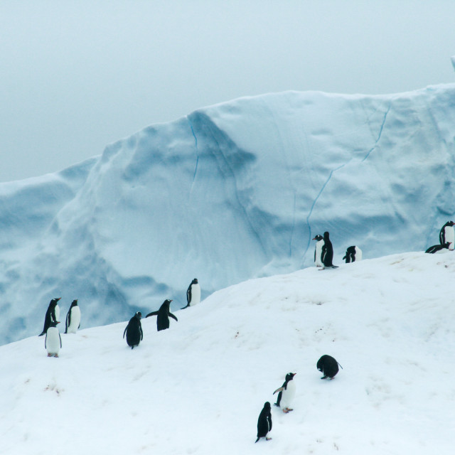 """Penguins on an iceberg"" stock image"