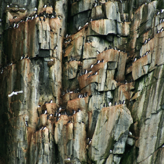 """Nesting guillemots in Svalbard"" stock image"