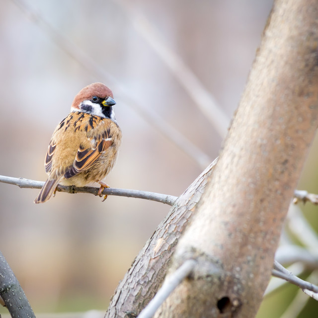 """Sparrow on the Branch"" stock image"