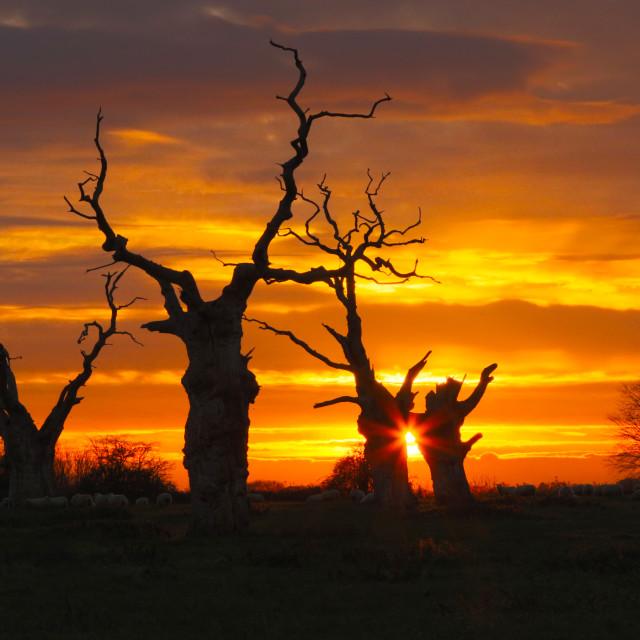 """The Dead Oaks of Mundon at sunset"" stock image"