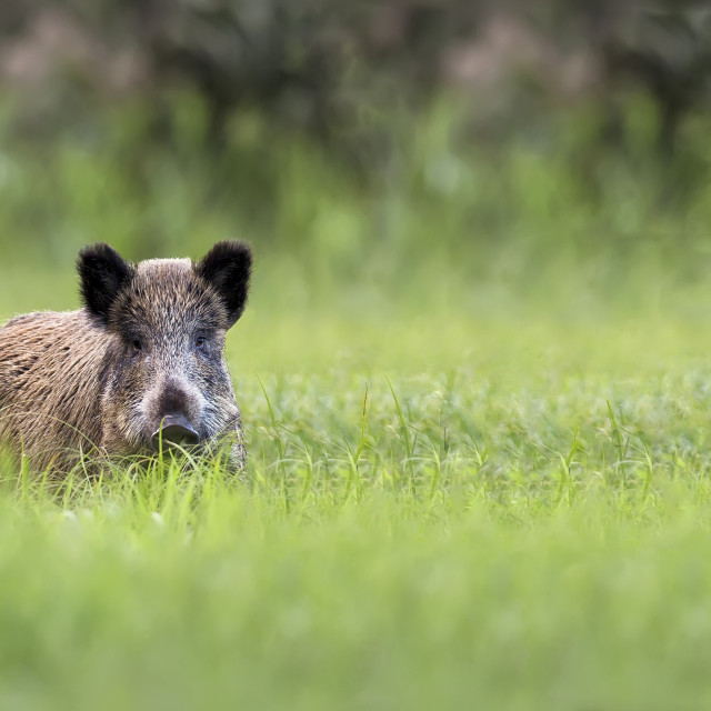 """Wild boar in the grass"" stock image"