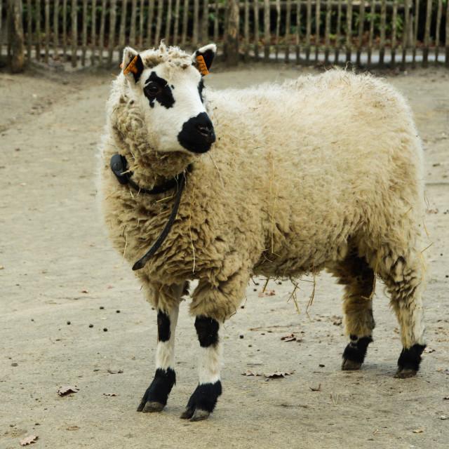 """One sheep"" stock image"
