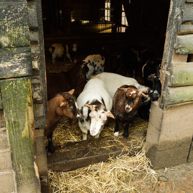 """Goat in a stable"" stock image"