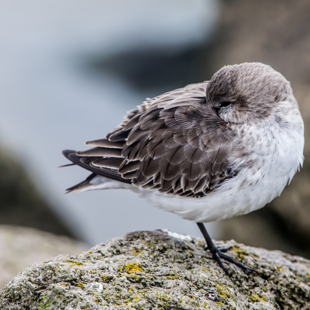 """Dunlin Roosting"" stock image"