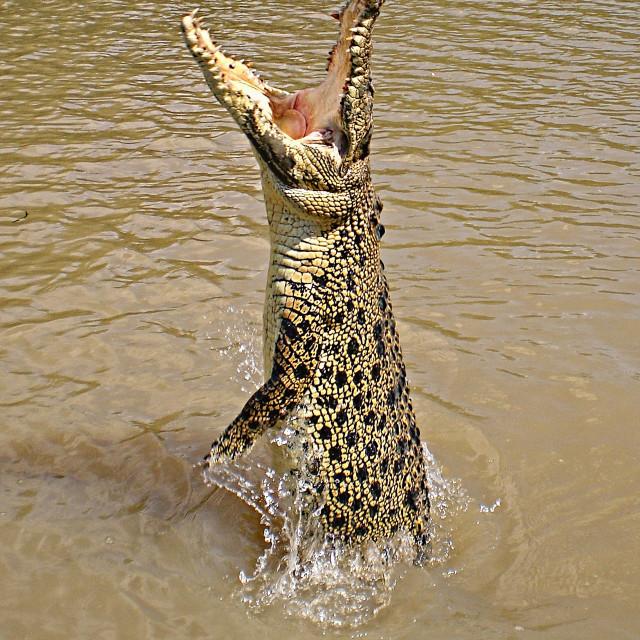 """Queensland wild Crocodile.."" stock image"