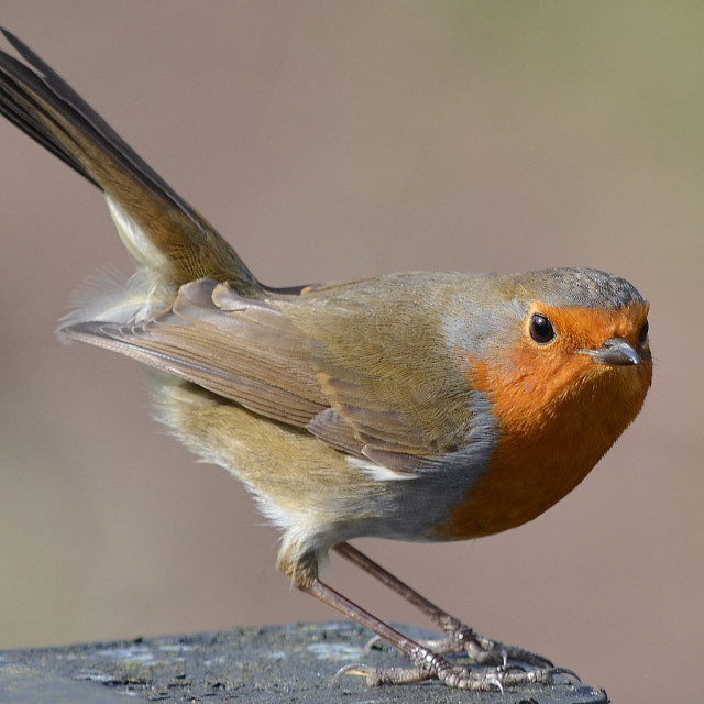 """British Robin"" stock image"