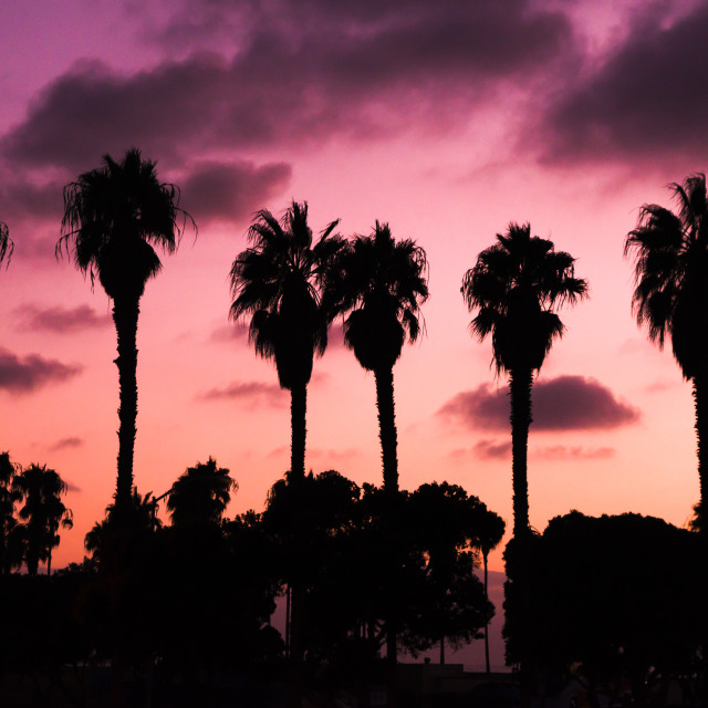 """Silhouette of Palm Trees"" stock image"
