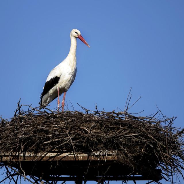 """""""White stork in the nest"""" stock image"""