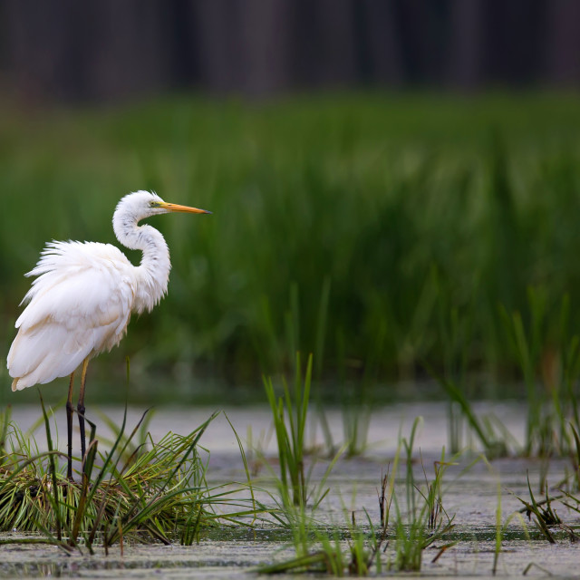 """Great Egret in the wild"" stock image"