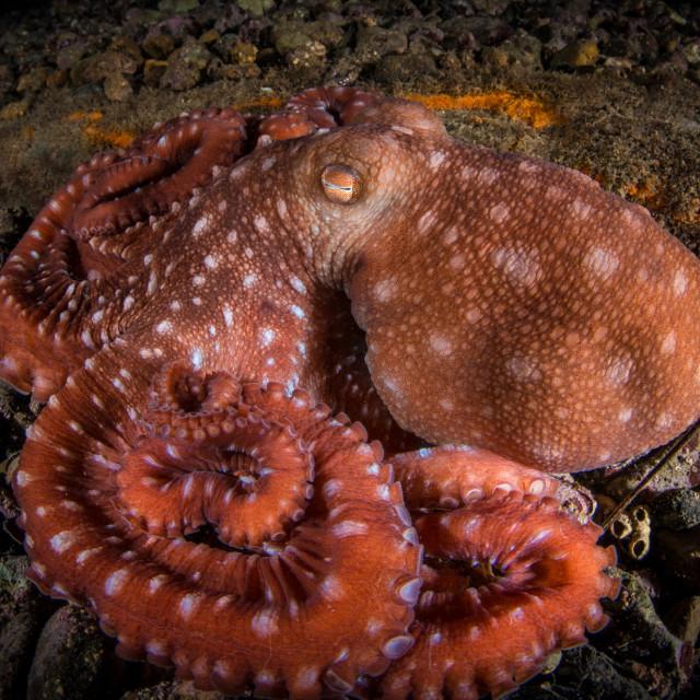 """Octopus macropus"" stock image"