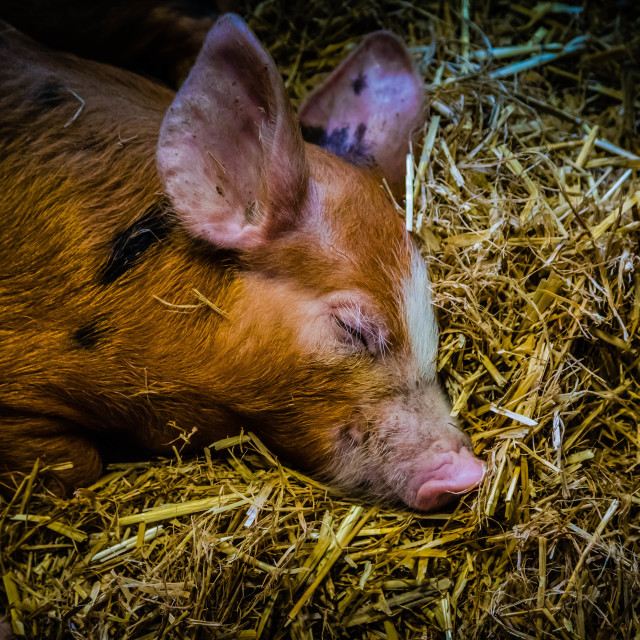 """Let sleeping Pigs be"" stock image"