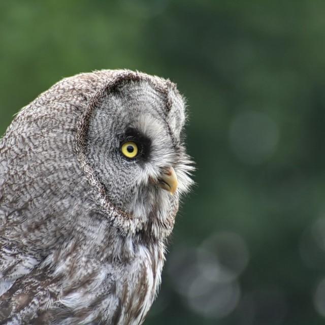 """Majestic Owl"" stock image"