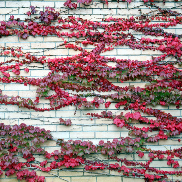 """""""Red ivy on the wall of Zagreb's cemetery Mirogoj"""" stock image"""