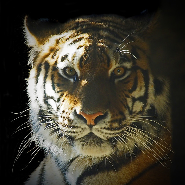 """Tiger portrait"" stock image"
