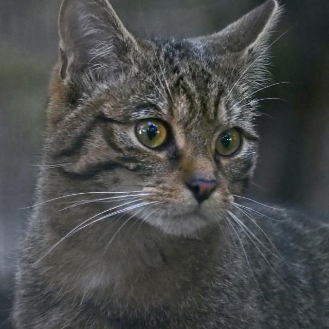 """Scottish Wildcat"" stock image"