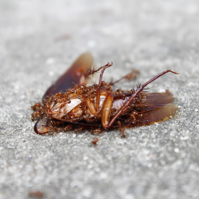 """ants eat dead insect"" stock image"