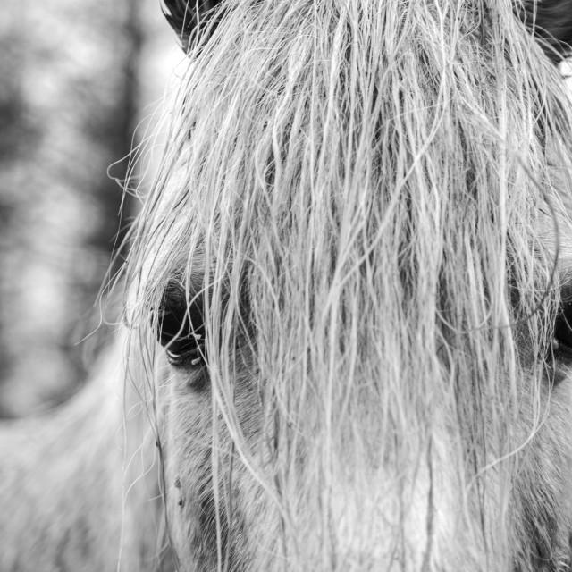 """Welsh Mountain Pony"" stock image"
