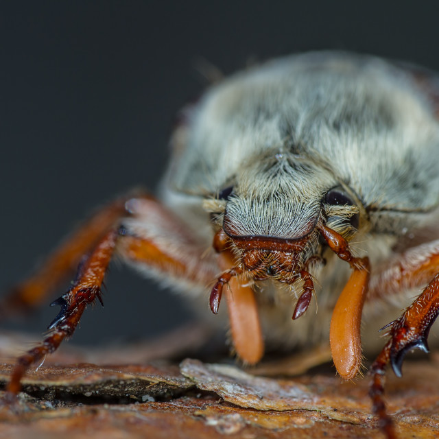 """Cockchafer (melolontha melolontha)"" stock image"