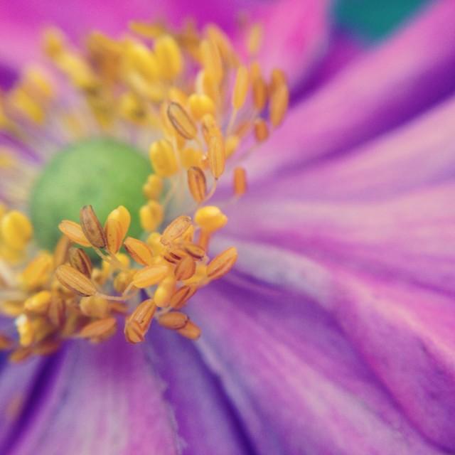 """Japanese anemone"" stock image"