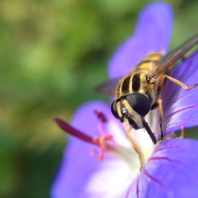 """Hoverfly pollinating flowers"" stock image"