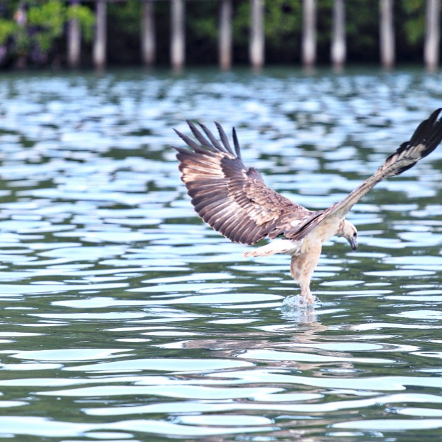 """""""Eagle flying in the wildlife"""" stock image"""