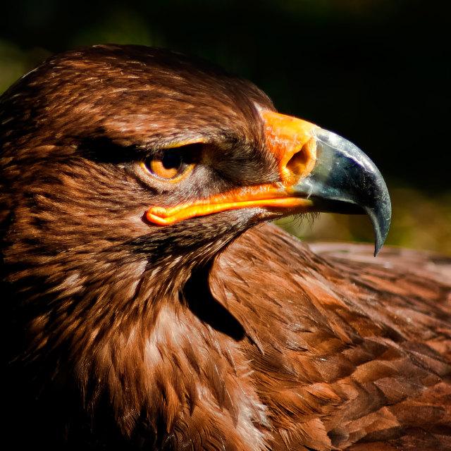 """Golden Eagle"" stock image"