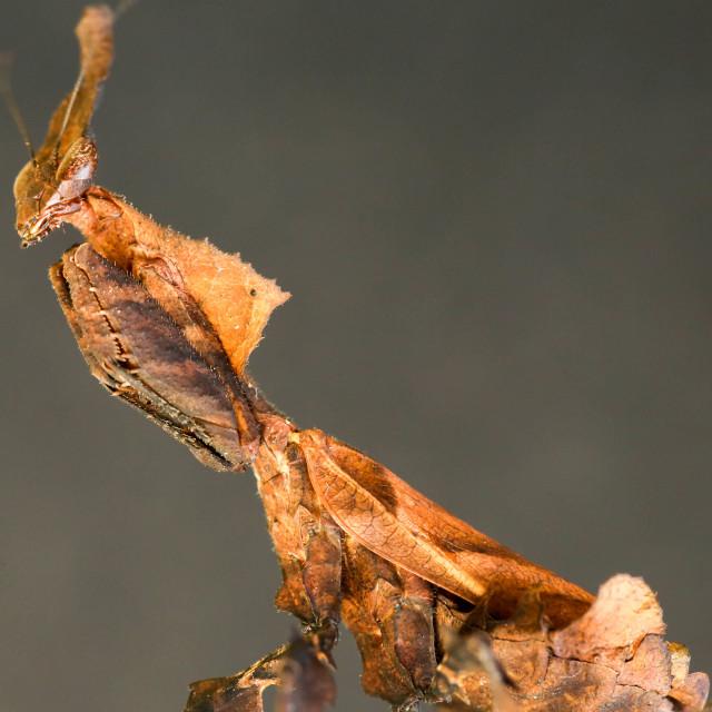 """""""Dead Leaf Mantis"""" stock image"""
