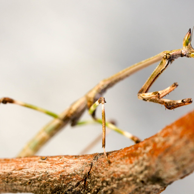 """Stick Mantis"" stock image"