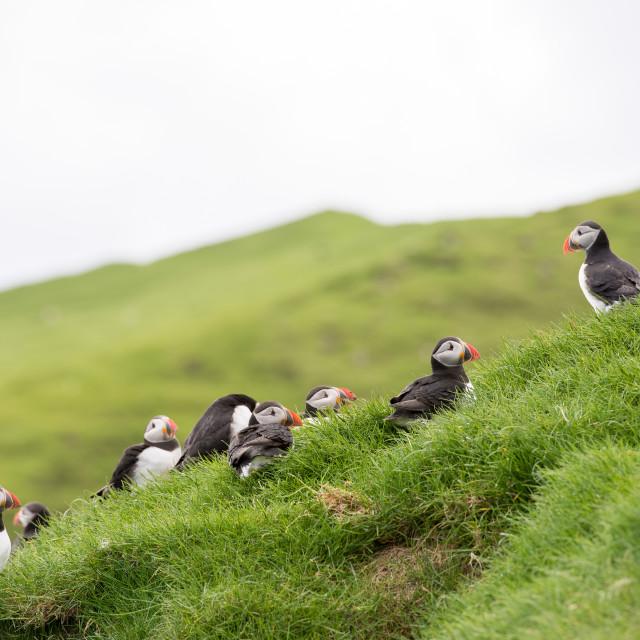 """Atlantic puffins, Fratercula arctica"" stock image"