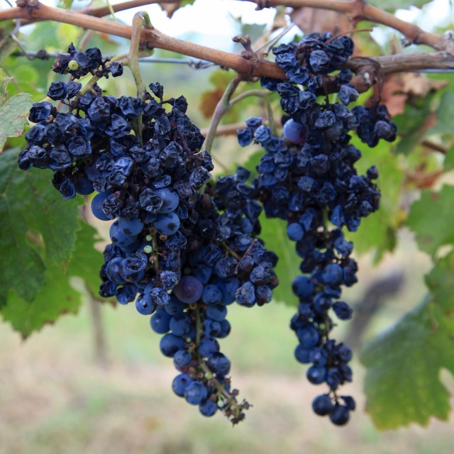 """Wilted grapes"" stock image"