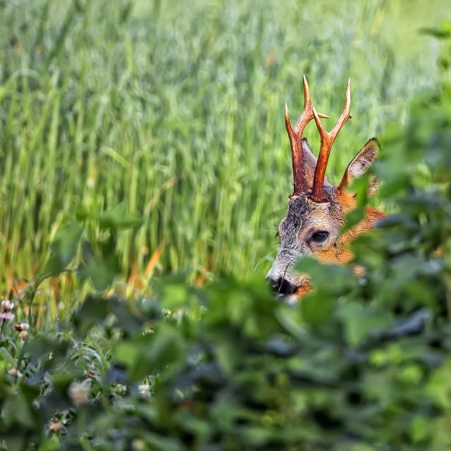 """""""Buck deer hidden in the wild"""" stock image"""