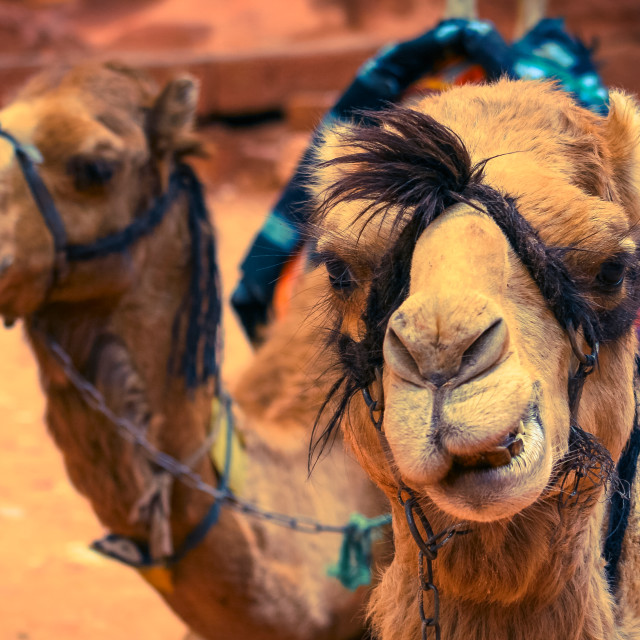 """Two camel faces"" stock image"