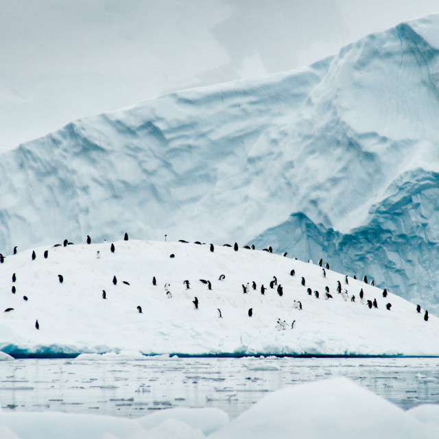 """Gentoo penguins on ice"" stock image"