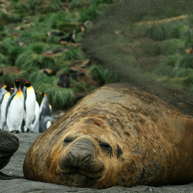 """An elephant seal flips sand onto its back"" stock image"