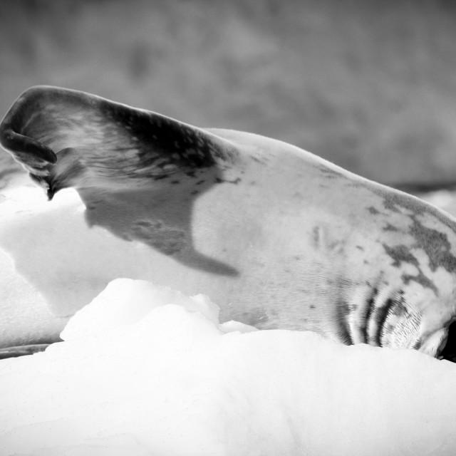"""""""Sleepy seal on ice"""" stock image"""
