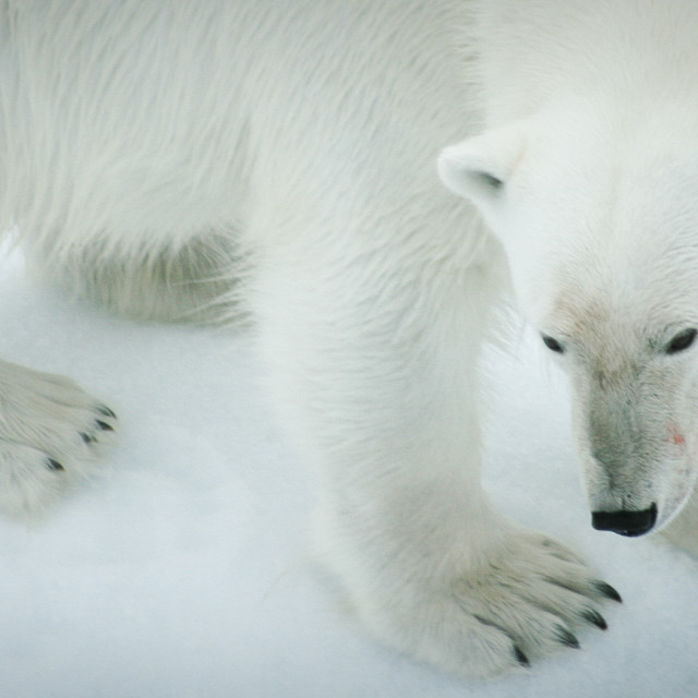 """Close up of a polar bear"" stock image"