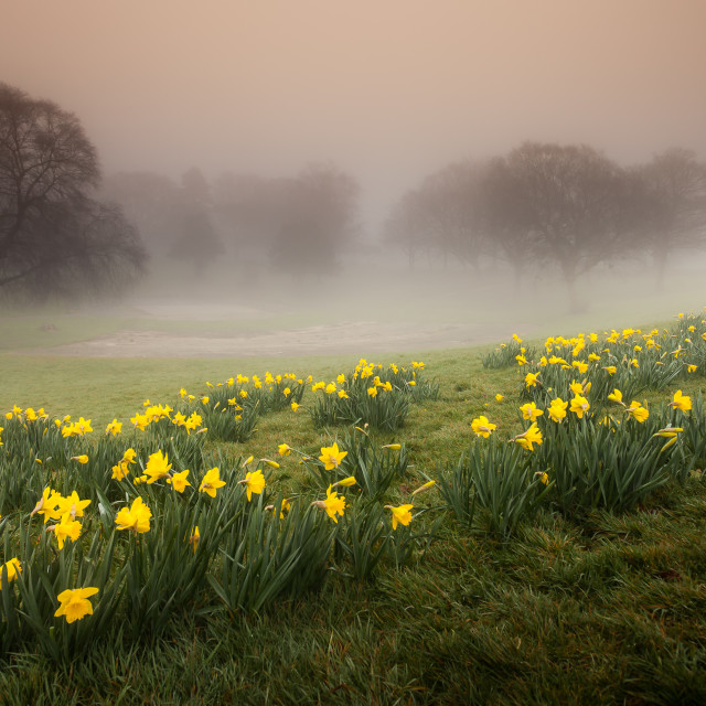 """Misty Daffodils"" stock image"