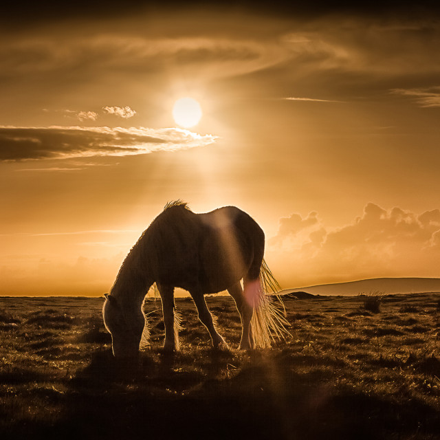 """Gower pony at sunset on Cefn Bryn Gower"" stock image"