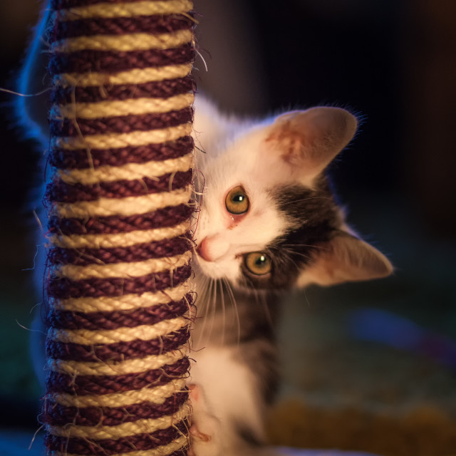 """Kitten at play with scratch post"" stock image"