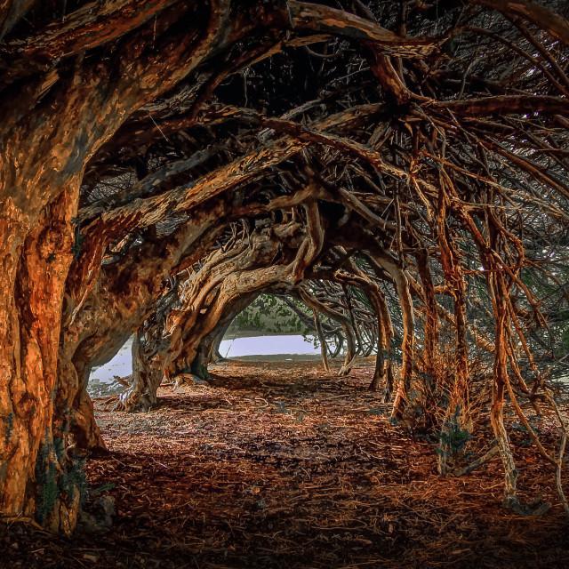 """1000 year old yew tree at Aberglasney gardens"" stock image"