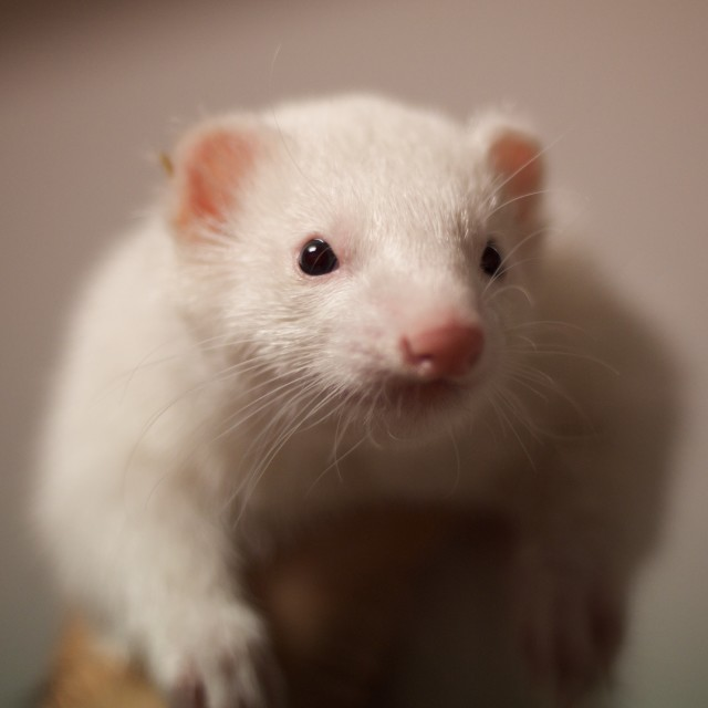 """Albino ferret in hand"" stock image"
