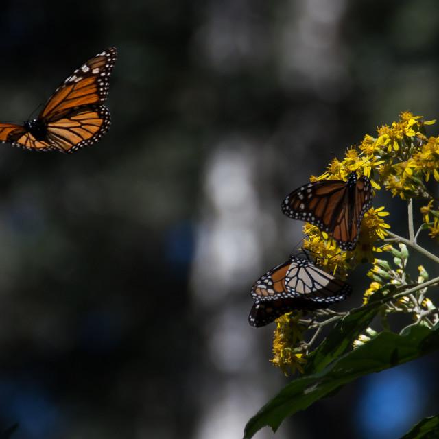 """Monarch in Flight"" stock image"