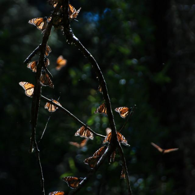 """""""Monarch in Sun"""" stock image"""