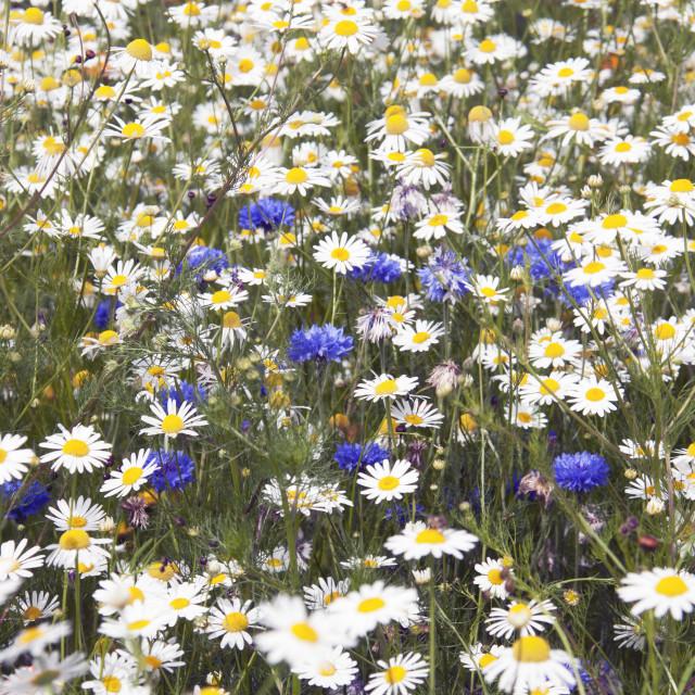 """Cornflower Blue & Chamomile White"" stock image"