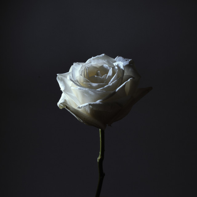 """Rose in the dark 1"" stock image"