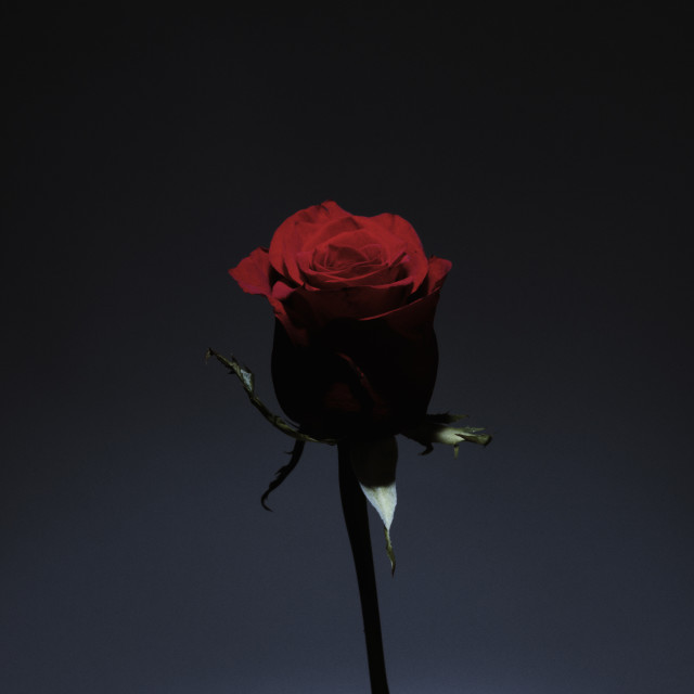 """Rose in the dark 2"" stock image"